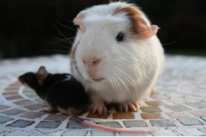 A child's guide to choosing and caring for a guinea pig in 9 simple steps